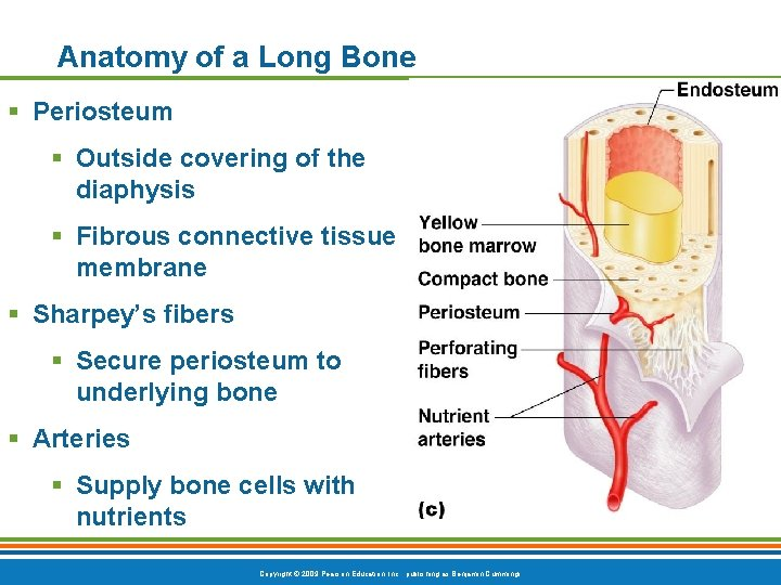 Anatomy of a Long Bone § Periosteum § Outside covering of the diaphysis §
