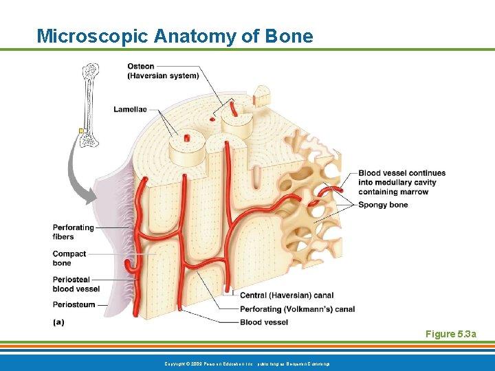 Microscopic Anatomy of Bone Figure 5. 3 a Copyright © 2009 Pearson Education, Inc.