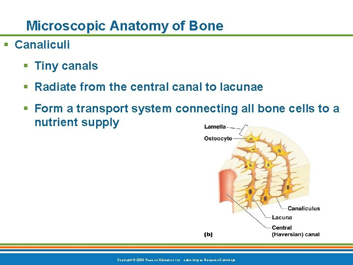 Microscopic Anatomy of Bone § Canaliculi § Tiny canals § Radiate from the central