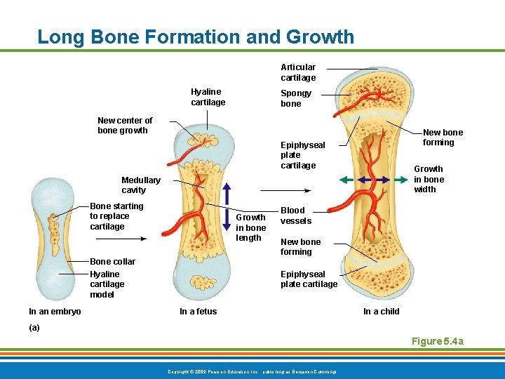 Long Bone Formation and Growth Articular cartilage Hyaline cartilage Spongy bone New center of