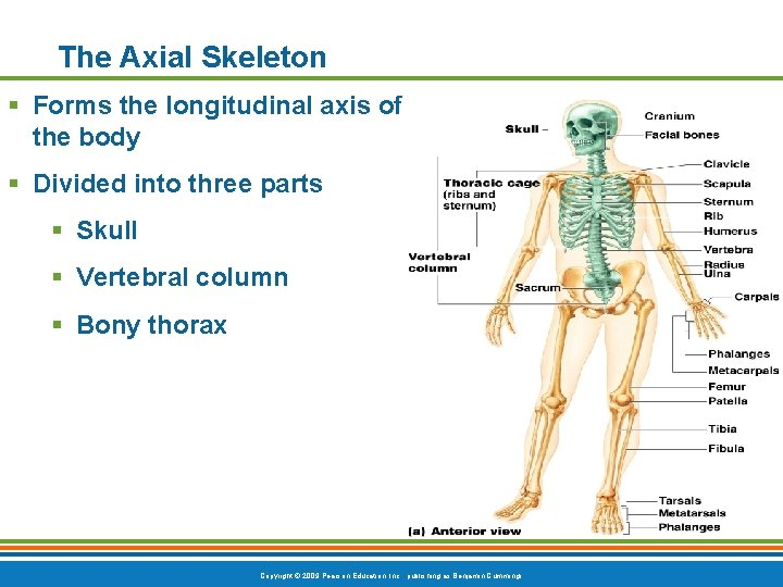 The Axial Skeleton § Forms the longitudinal axis of the body § Divided into