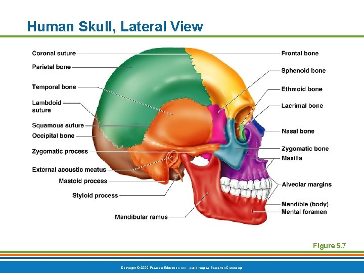 Human Skull, Lateral View Figure 5. 7 Copyright © 2009 Pearson Education, Inc. ,