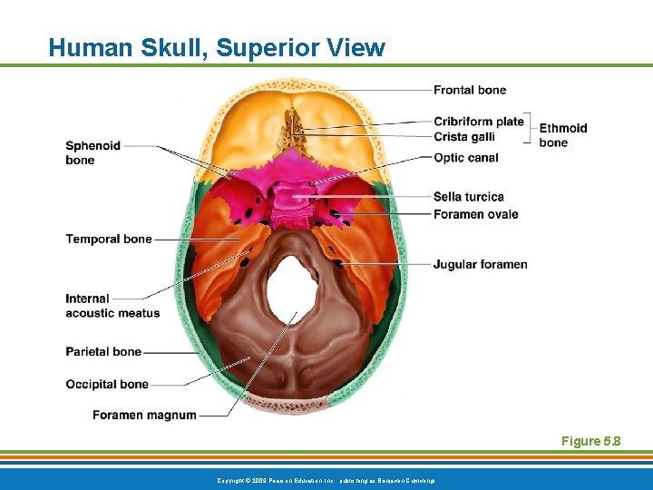 Human Skull, Superior View Figure 5. 8 Copyright © 2009 Pearson Education, Inc. ,