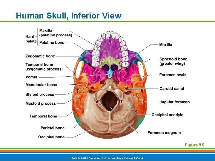 Human Skull, Inferior View Figure 5. 9 Copyright © 2009 Pearson Education, Inc. ,