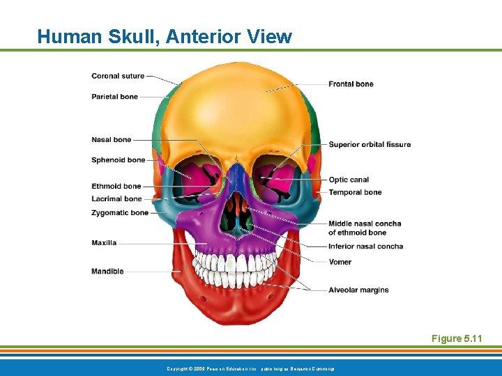 Human Skull, Anterior View Figure 5. 11 Copyright © 2009 Pearson Education, Inc. ,