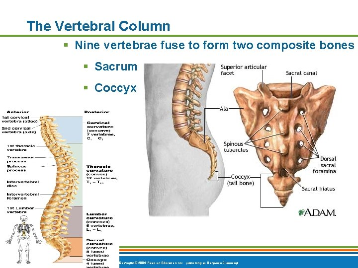 The Vertebral Column § Nine vertebrae fuse to form two composite bones § Sacrum