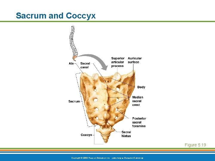 Sacrum and Coccyx Figure 5. 19 Copyright © 2009 Pearson Education, Inc. , publishing