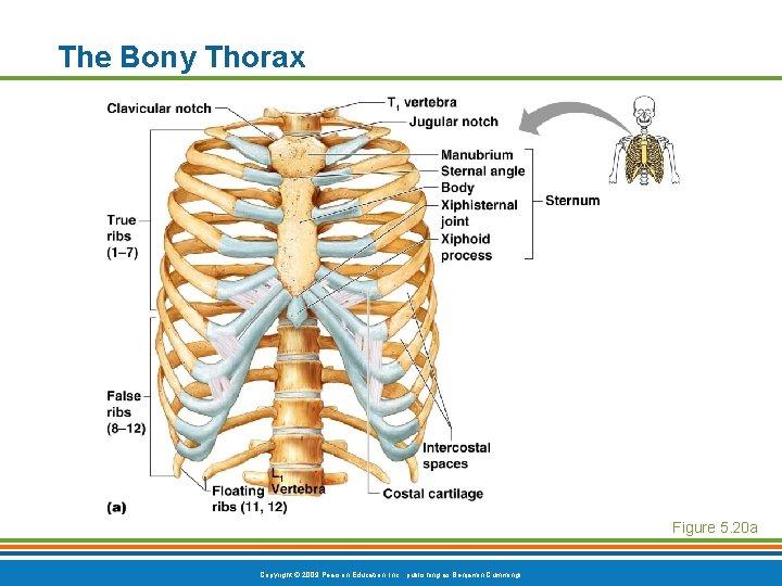 The Bony Thorax Figure 5. 20 a Copyright © 2009 Pearson Education, Inc. ,