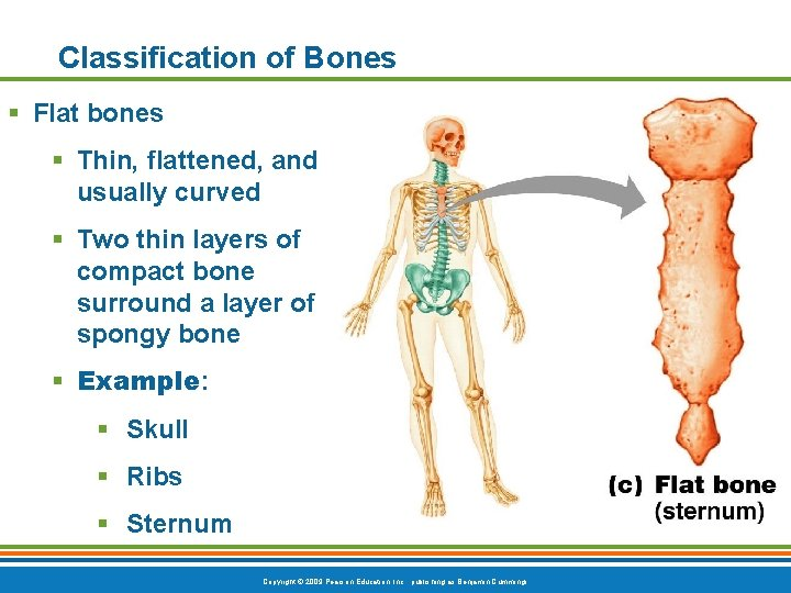 Classification of Bones § Flat bones § Thin, flattened, and usually curved § Two