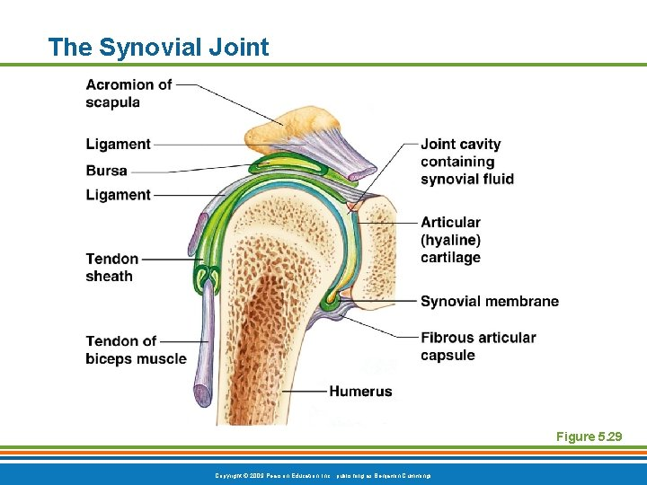 The Synovial Joint Figure 5. 29 Copyright © 2009 Pearson Education, Inc. , publishing