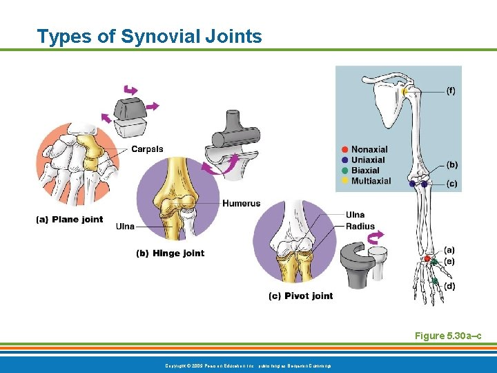 Types of Synovial Joints Figure 5. 30 a–c Copyright © 2009 Pearson Education, Inc.