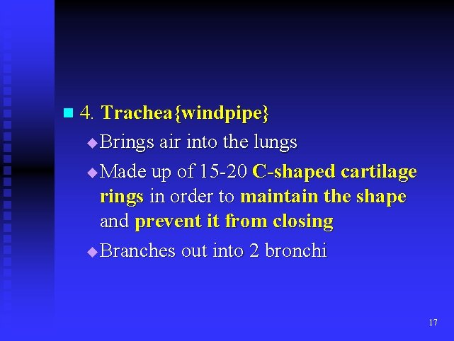 n 4. Trachea{windpipe} Brings air into the lungs u Made up of 15 -20
