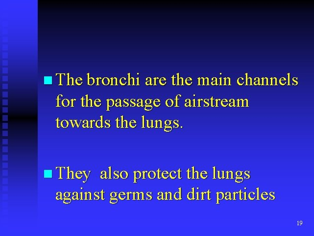 n The bronchi are the main channels for the passage of airstream towards the