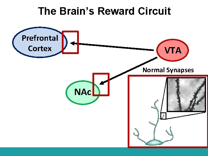The Brain's Reward Circuit Prefrontal Cortex VTA Normal Synapses NAc