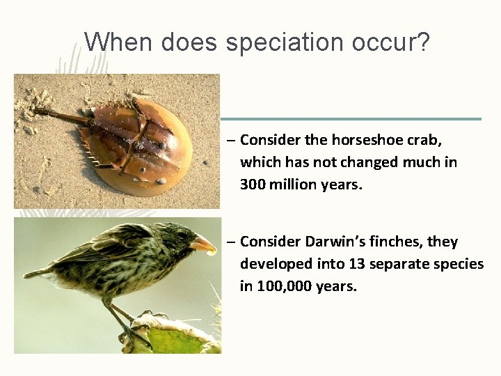 When does speciation occur? – Consider the horseshoe crab, which has not changed much