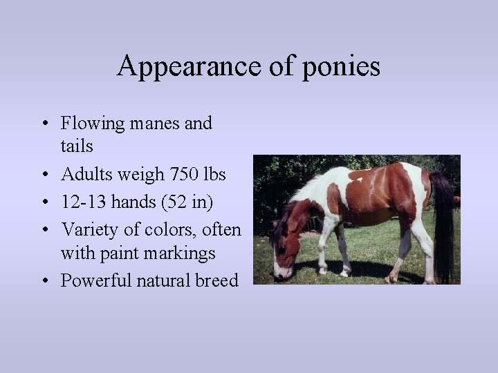 Appearance of ponies • Flowing manes and tails • Adults weigh 750 lbs •