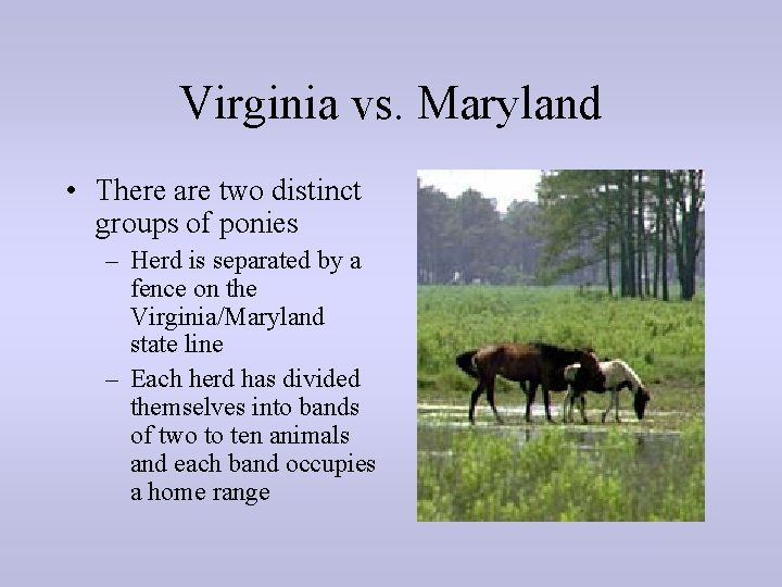 Virginia vs. Maryland • There are two distinct groups of ponies – Herd is