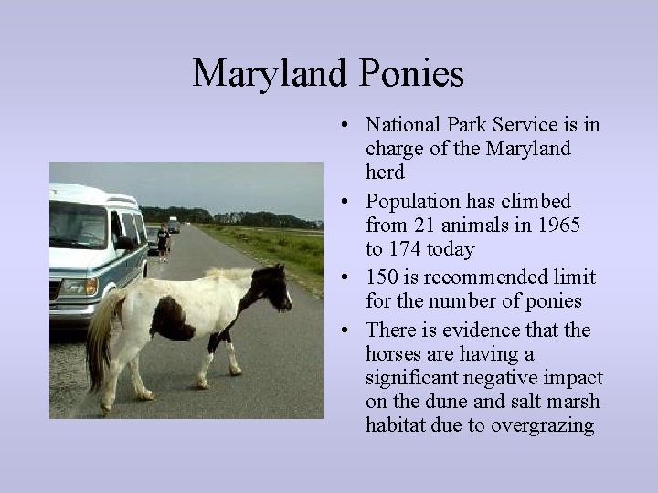 Maryland Ponies • National Park Service is in charge of the Maryland herd •