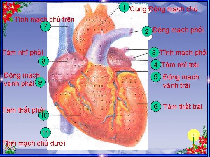 1 Cung Động mạch chủ Tĩnh mạch chủ trên 7 2 Động mạch phổi