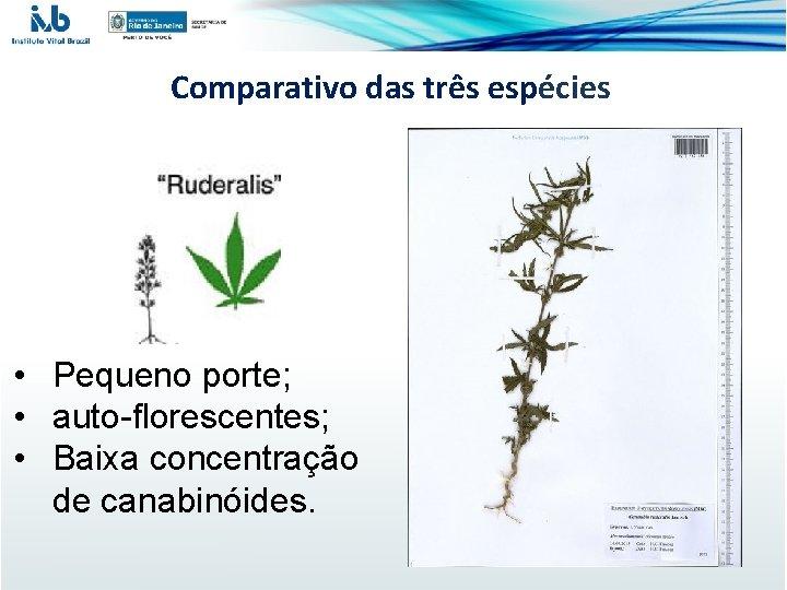 Comparativo das três espécies • Pequeno porte; • auto-florescentes; • Baixa concentração de canabinóides.