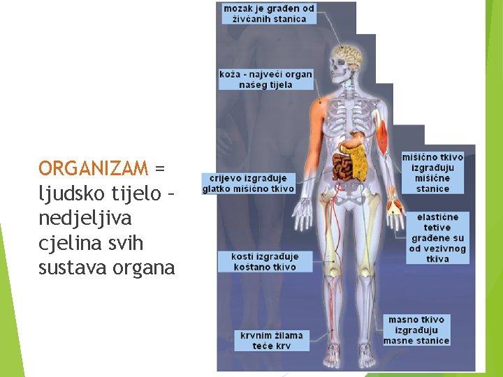 ORGANIZAM = ljudsko tijelo – nedjeljiva cjelina svih sustava organa