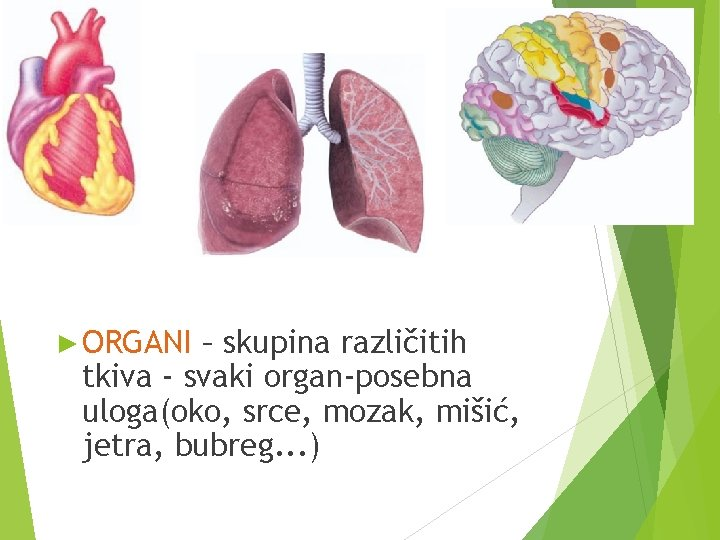 ► ORGANI – skupina različitih tkiva - svaki organ-posebna uloga(oko, srce, mozak, mišić, jetra,