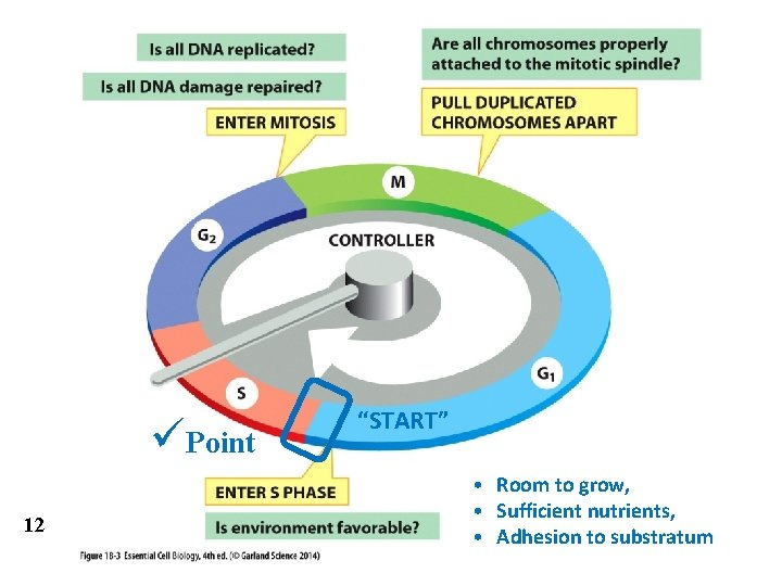 """üPoint 12 """"START"""" • Room to grow, • Sufficient nutrients, • Adhesion to substratum"""