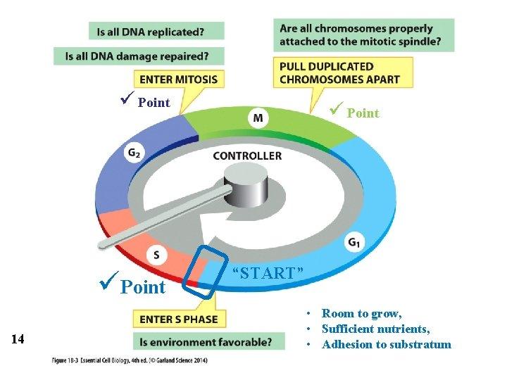 "ü Point üPoint 14 ü Point ""START"" • Room to grow, • Sufficient nutrients,"