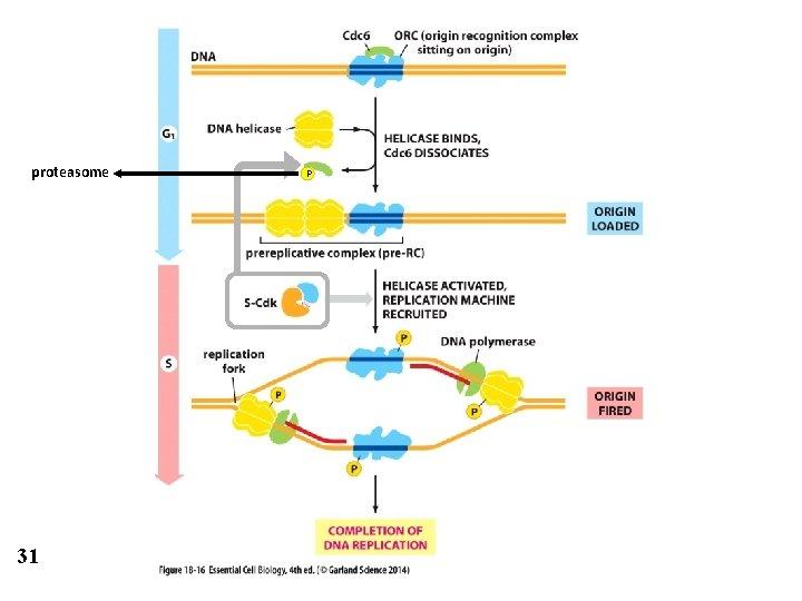 proteasome 31 P
