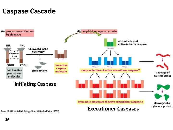 Caspase Cascade Initiating Caspase Executioner Caspases 36