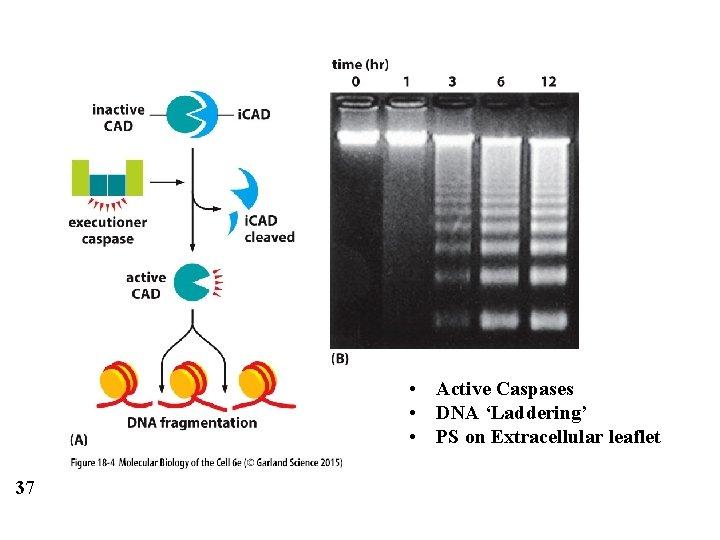 • Active Caspases • DNA 'Laddering' • PS on Extracellular leaflet 37