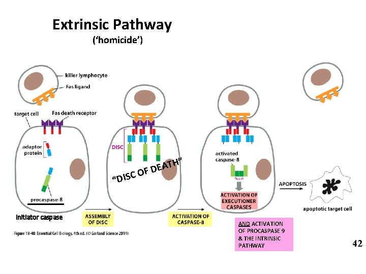 """Extrinsic Pathway ('homicide') """"DISC Initiator caspase H"""" T A E FD O AND ACTIVATION"""