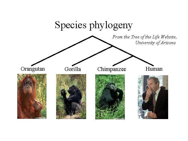 Species phylogeny From the Tree of the Life Website, University of Arizona Orangutan Gorilla