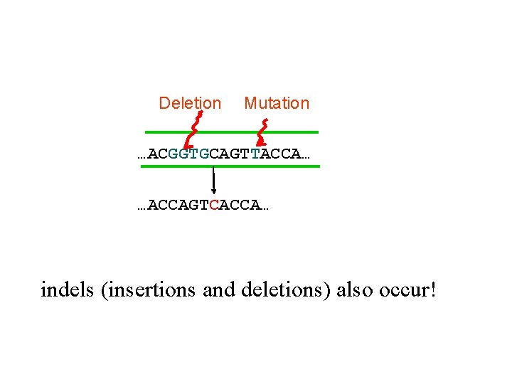 Deletion Mutation …ACGGTGCAGTTACCA… …ACCAGTCACCA… indels (insertions and deletions) also occur!