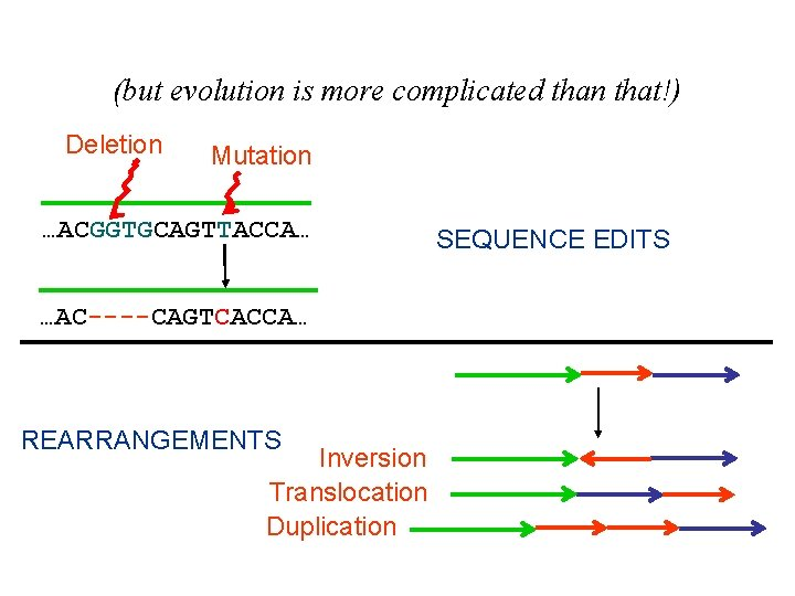 (but evolution is more complicated than that!) Deletion Mutation …ACGGTGCAGTTACCA… …AC----CAGTCACCA… REARRANGEMENTS Inversion Translocation