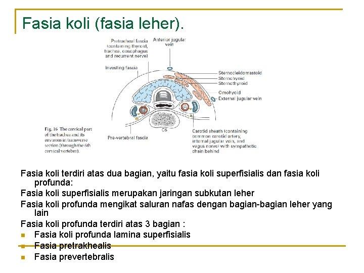 Fasia koli (fasia leher). Fasia koli terdiri atas dua bagian, yaitu fasia koli superfisialis