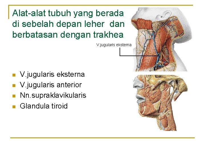 Alat-alat tubuh yang berada di sebelah depan leher dan berbatasan dengan trakhea V. jugularis
