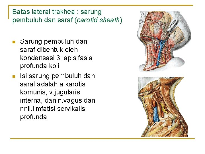 Batas lateral trakhea : sarung pembuluh dan saraf (carotid sheath) n n Sarung pembuluh