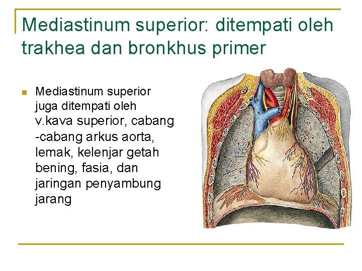 Mediastinum superior: ditempati oleh trakhea dan bronkhus primer n Mediastinum superior juga ditempati oleh