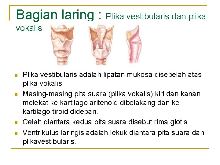 Bagian laring : Plika vestibularis dan plika vokalis n n Plika vestibularis adalah lipatan