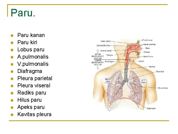 Paru. n n n Paru kanan Paru kiri Lobus paru A. pulmonalis V. pulmonalis