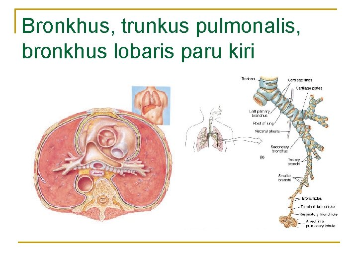 Bronkhus, trunkus pulmonalis, bronkhus lobaris paru kiri
