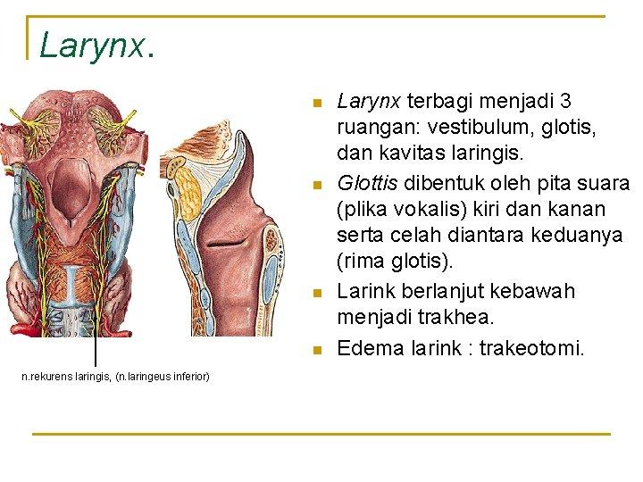 Larynx. n n n. rekurens laringis, (n. laringeus inferior) Larynx terbagi menjadi 3 ruangan: