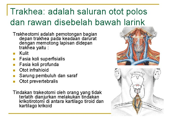 Trakhea: adalah saluran otot polos dan rawan disebelah bawah larink Trakheotomi adalah pemotongan bagian