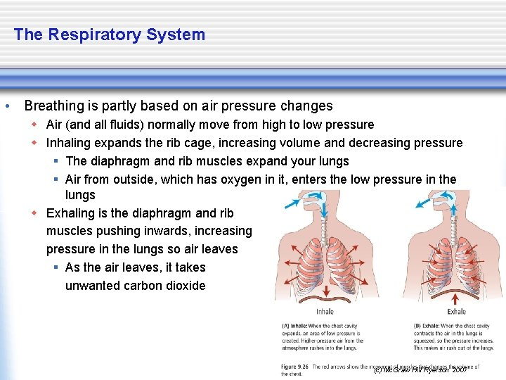 The Respiratory System • Breathing is partly based on air pressure changes w Air