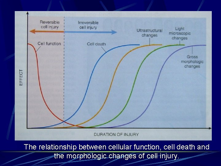 The relationship between cellular function, cell death and the morphologic changes of cell injury.