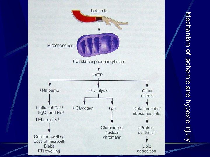 Mechanism of ischemic and hypoxic injury