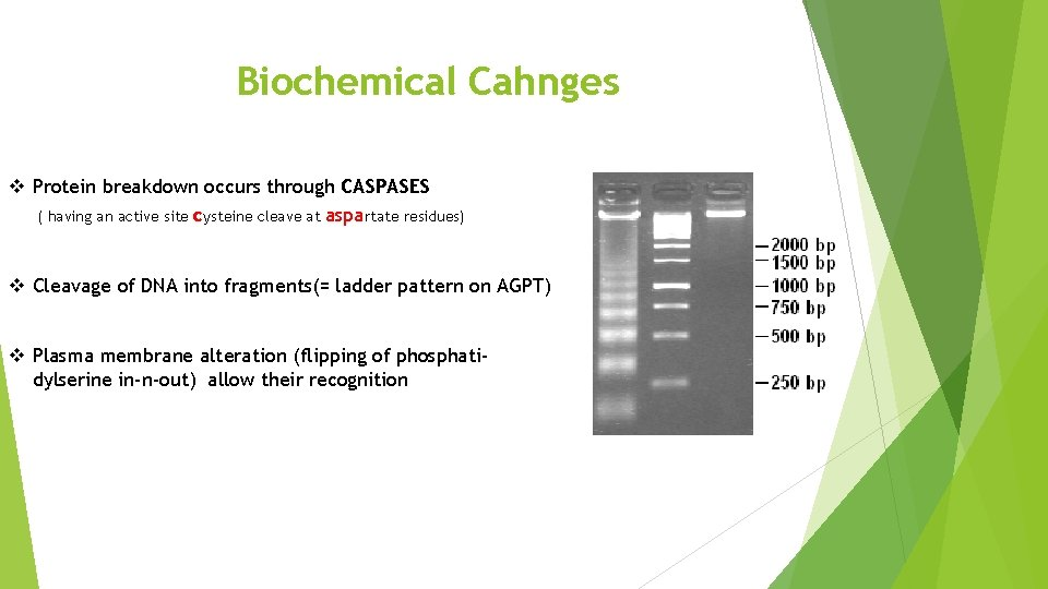 Biochemical Cahnges v Protein breakdown occurs through CASPASES ( having an active site cysteine