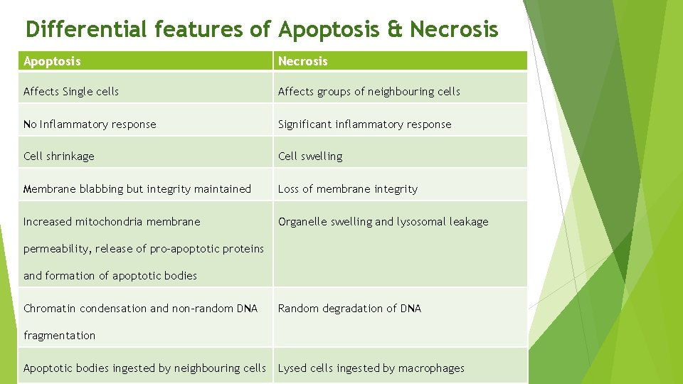 Differential features of Apoptosis & Necrosis Apoptosis Necrosis Affects Single cells Affects groups of