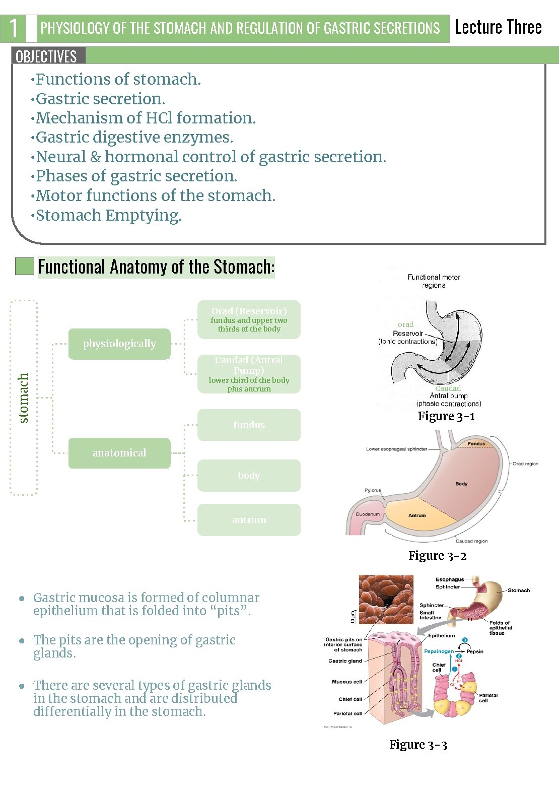 1 PHYSIOLOGY OF THE STOMACH AND REGULATION OF GASTRIC SECRETIONS Lecture Three OBJECTIVES •